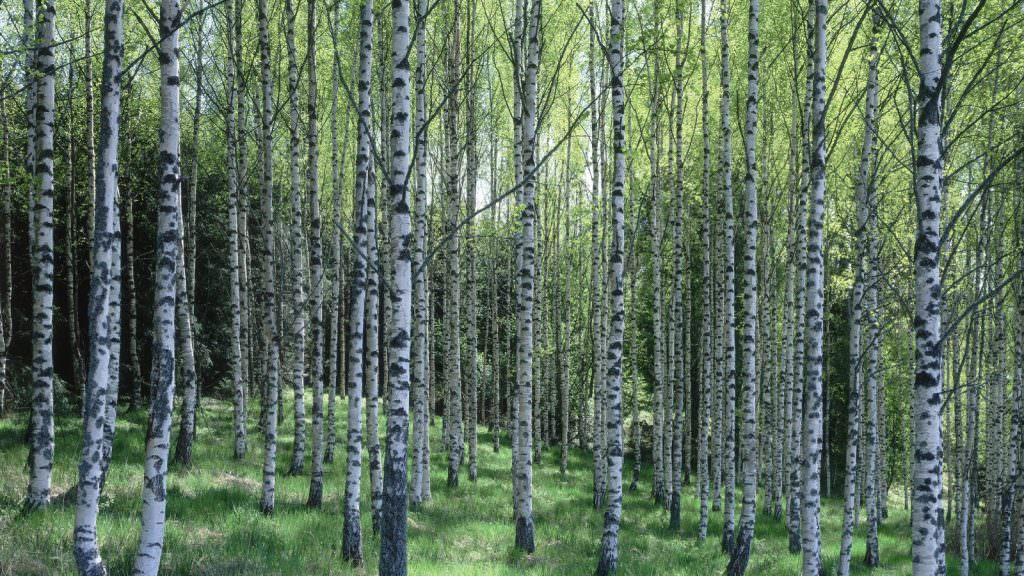 Header_PL_birch_forest_887-1600x900