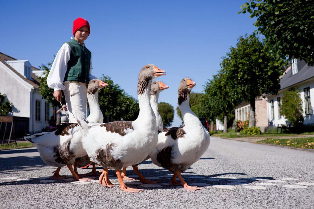 conny_fridh-goose_herding_-1820